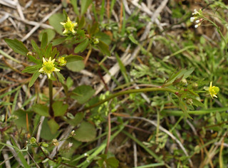 Small-floweredCrowfoot