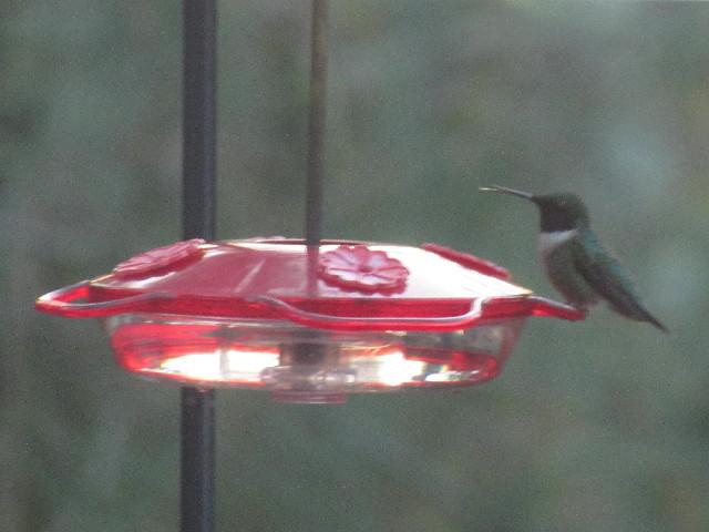 First Male Hummingbird2 5:2:14