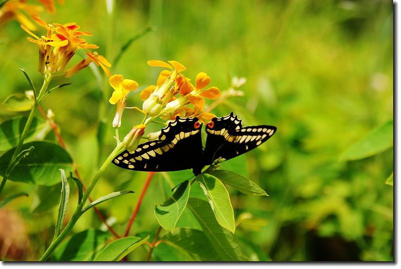 Western Wallflower and Butterfly