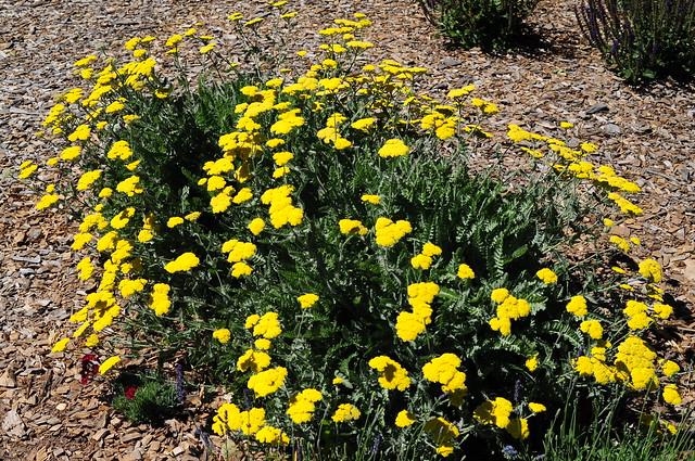 photo Yarrow Plant Yellow