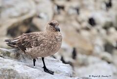 Antarctic skua - Labbe antarctique - Págalo subantártico - Catharacta antarctica