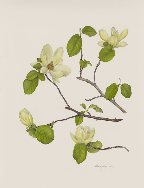 "Margaret Farr, Magnolia 'Lois', 2010. Osborne border mound near Eastern Parkway and Museum. Watercolor on Fabriano Artistico. 30"" x 22""."