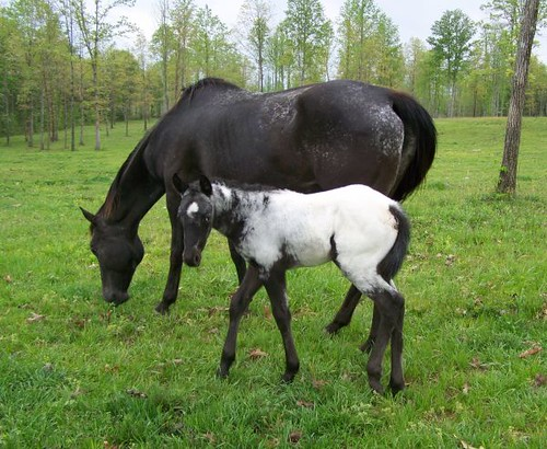 """angel Wings"" Black and White Filly SO Sweet ! Flashy"