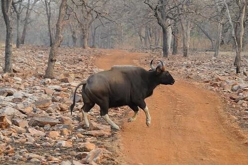 galloping gaur