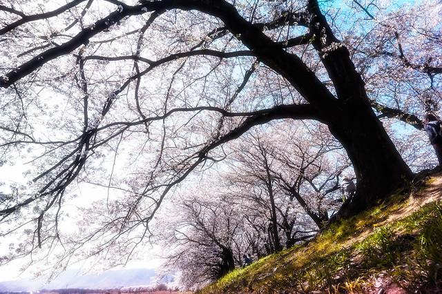 Under the Big Cherry Tree