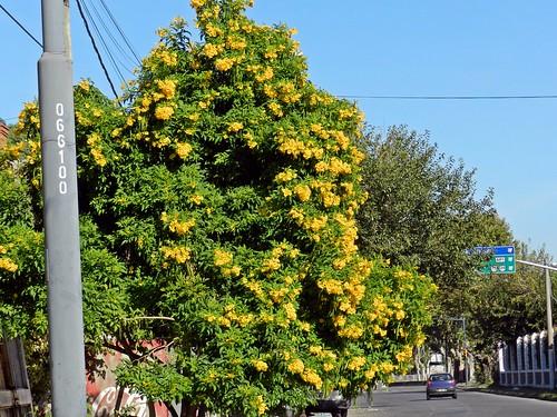 guarán  amarillo (tecoma stans)