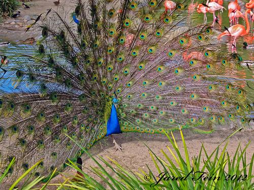 california bird animal zoo sandiego display feathers peacock sandiegozoo plumage sewerdoc ©jaredfein mygearandme blinkagain