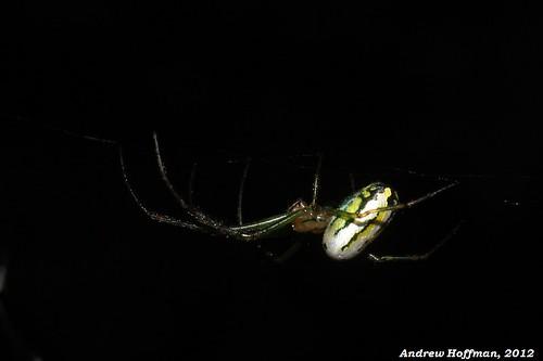 field spider spiders wildlife orb andrew orchard guide weaver arachnids hoffman invertebrate tetragnathidae venusta leucaga