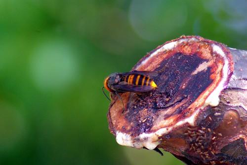 オオスズメバチ/Vespa mandarinia