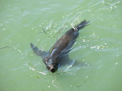 Harbour Sea Lion