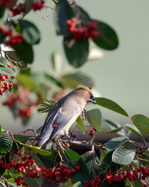 Cedar Waxwing eating Pyracantha Berries