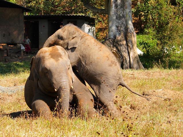 Dok Mai and Chang Yim at Elephant Nature Park