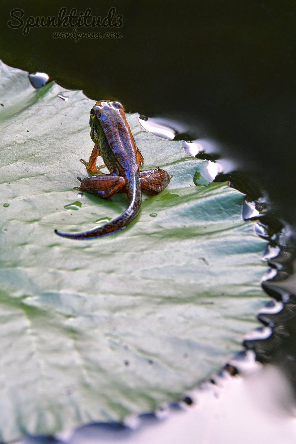 Frog Metamorphosis