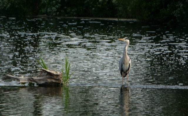 Heron on the Weir