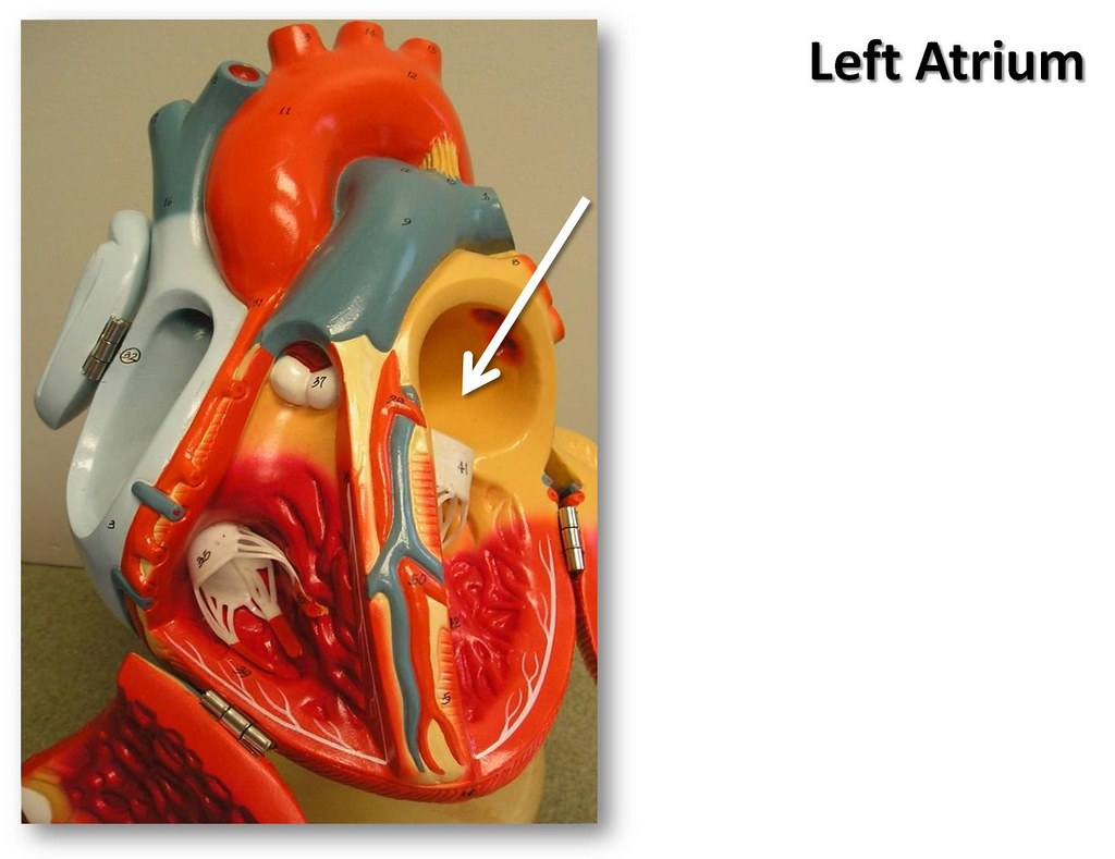 Left Atrium The Anatomy Of The Heart Visual Atlas Page Flickr