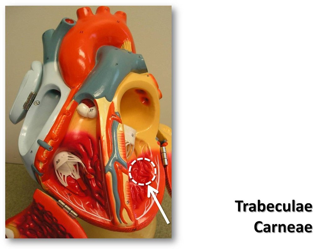 Trabeculae Carneae The Anatomy Of The Heart Visual Atlas Flickr