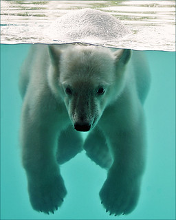 Vicks, the swimming polar bear cub