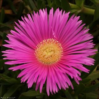 Flor da Maninha