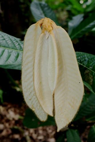 Geo:country=malaysia gajahberanak Taxonomy:family=annonaceae Taxonomy:binomial=goniothalamusmacrophyllus selayarhitam gagangseteru empalis