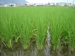 水稻田。花蓮農改場提供。