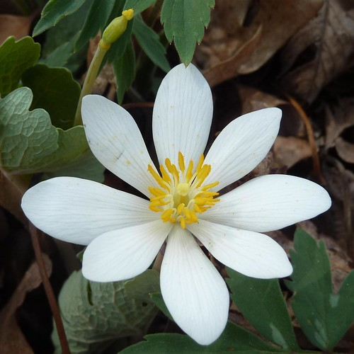 Lisle, IL, Morton Arboretum, White Spring Flower, Bloodroot by lalobamfw