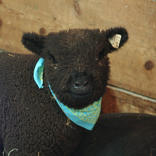 cutest sheep 2012