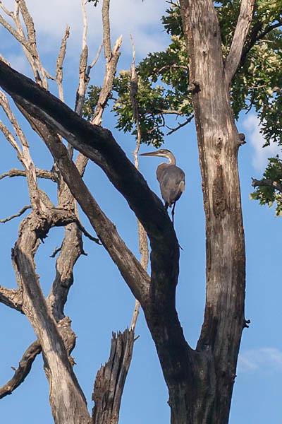 Blue Heron at Stricker's Pond