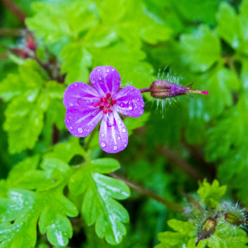 Wood Cranesbill in the rain