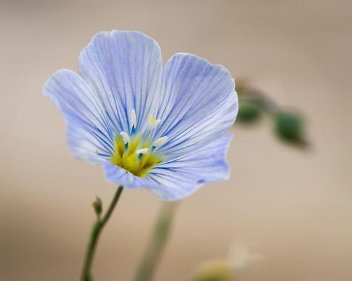 nevada linaceae linumlewisii blueflax lewisflax whitepinecounty whitepinerange