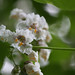 Catalpa tree bloom by lsheirer
