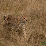 Cheetah in the Grass - Serengeti, Tanzania