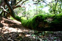 Moss at Hakone - 01