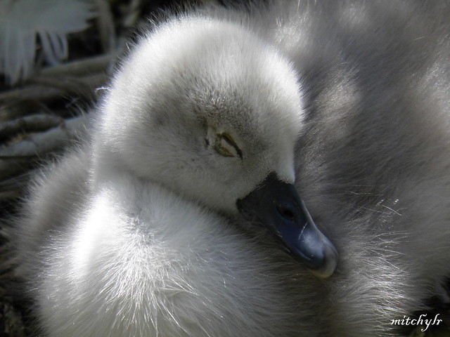 Sleepy Cygnet 1