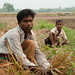 Families Picking Garlic in Field - Hatiandha, Bangladesh