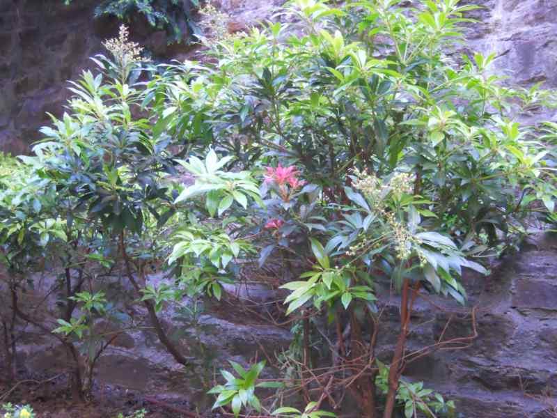 Pieris japonica 3