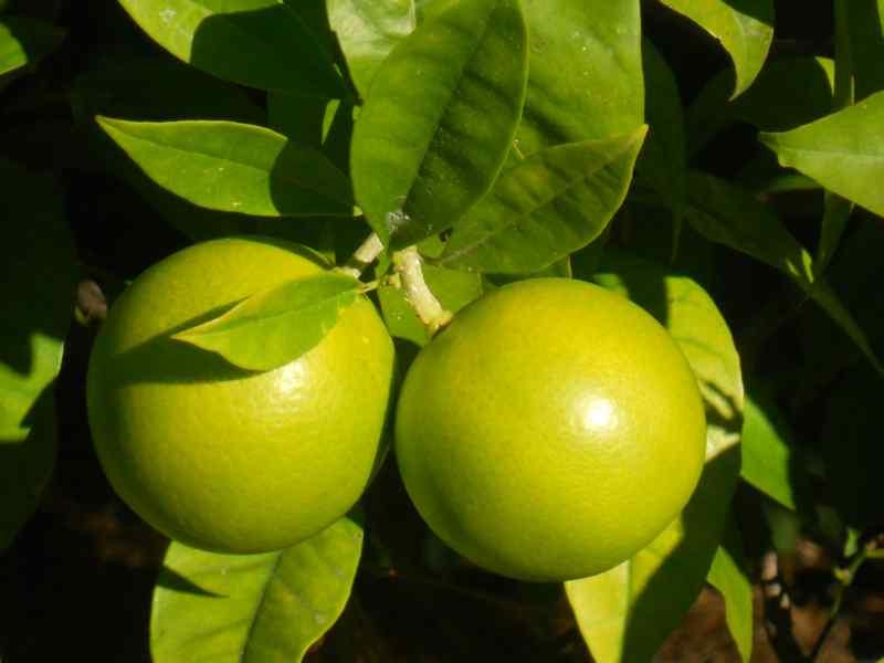 Citrus sinensis 'Sanguinelli' 1