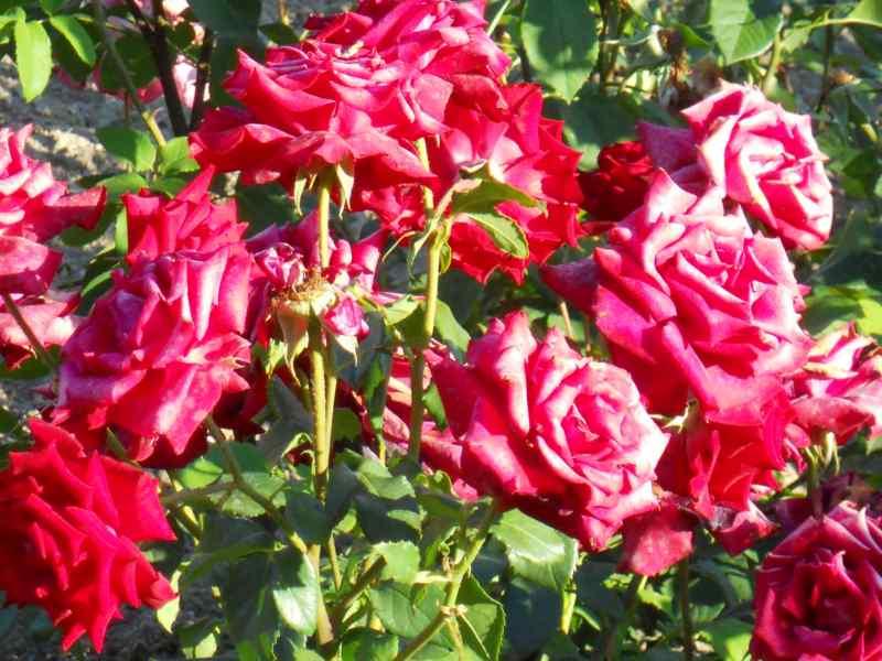 Rosa grandiflora 'Gaujard' 1