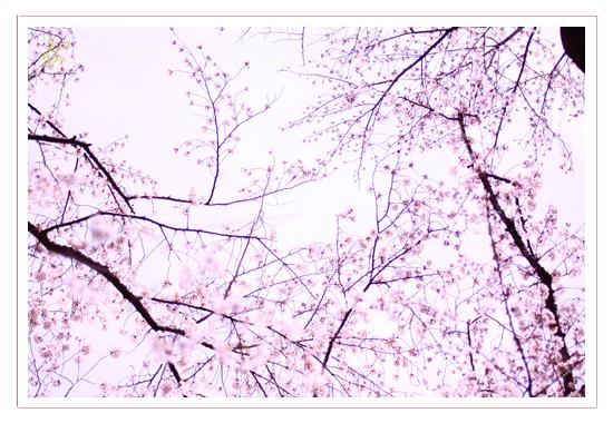 桜 フォトデザイン・キャラバンサライ