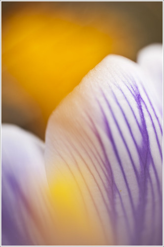 20120412. The yellow sun of the crocus. 5744. by Tiina Gill