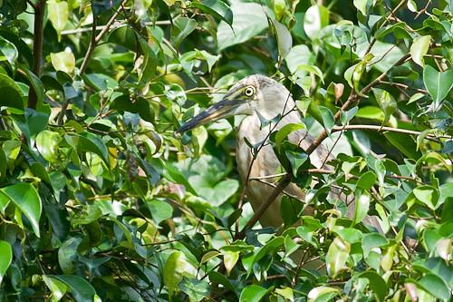 Javan Pond-heron