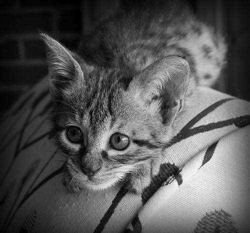Kitten Stare by broadsurf