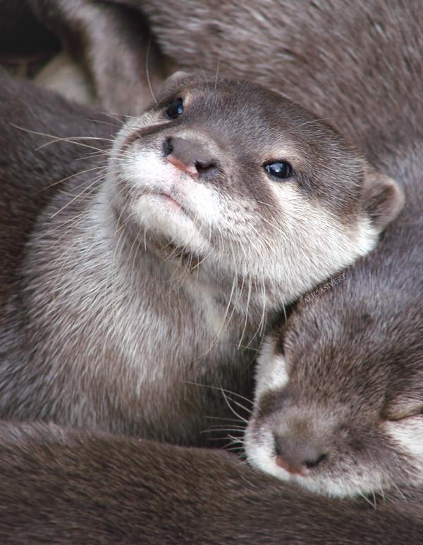aliciasivert, alicia sivertsson, otter, london zoo, animal, animals, utter, uttrar, djur, djurpark
