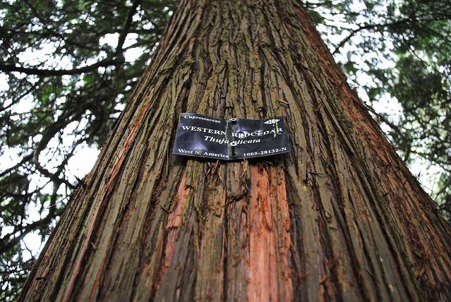 Western Red Cedar - Hoyt Arboretum - Portland, Oregon