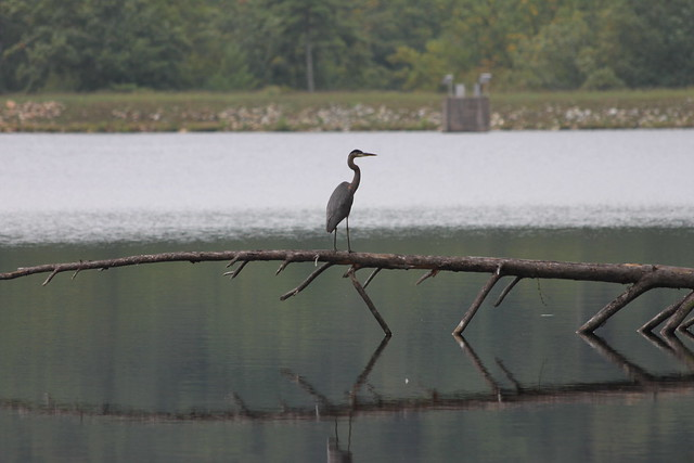 Crane at Douthat State Park