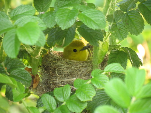 Yellow Warbler - Paruline jaune  24 mai 2012 060 by Diane G....Thanks for over 50,000 Views....