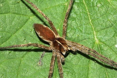 Spider 8589