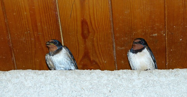 27444 - Swallows, Martins Haven