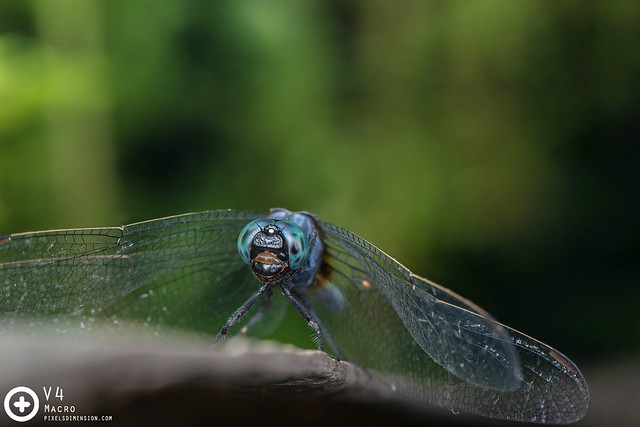 Orthetrum glaucum ♂ - Common Blue Skimmer
