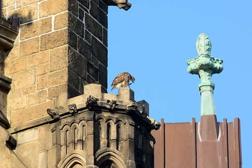 Cathedral Hawk Fledgling (2543)