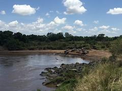 Hipopótamos tomando el sol en una playa del río Mara en Masai Mara